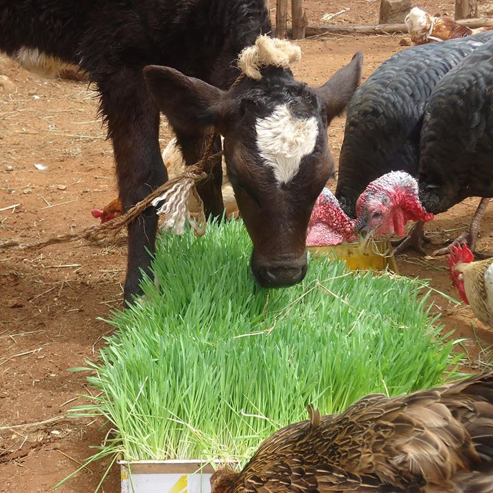 123 - Трава на гидропонике для кормления животных