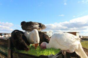 Комплексы гидропонного корма для птицеводства – преимущество корма