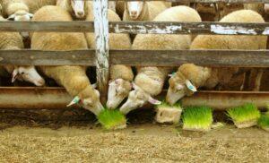 montana hydro livestock feed courtesy2 0 300x182 - Комплексы гидропонного зеленого корма