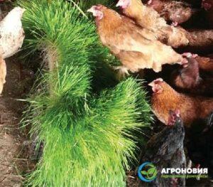 gidroponnyj korm agronoviya 002 300x263 - Гидропонный зеленый корм для выращивания бройлеров