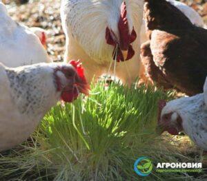 gidroponnyj korm agronoviya 003 300x263 - Гидропонный зеленый корм для выращивания бройлеров