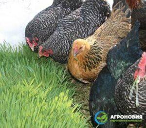 gidroponnyj korm agronoviya 011 300x263 - Гидропонный зеленый корм для выращивания бройлеров