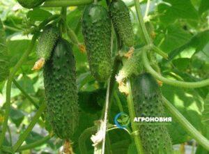 Гидропонные установки для выращивания огурцов