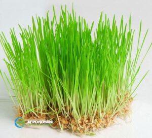 Пророщенные зерна пшеницы в гидропонной системе
