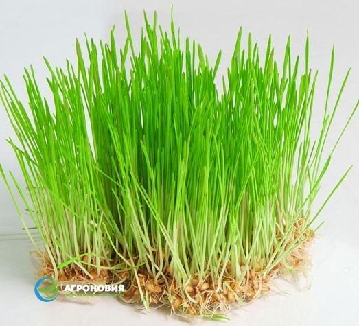 пшеница на гидропонике