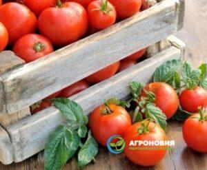 tomat 300x247 - Гидропонные установки для выращивания томатов