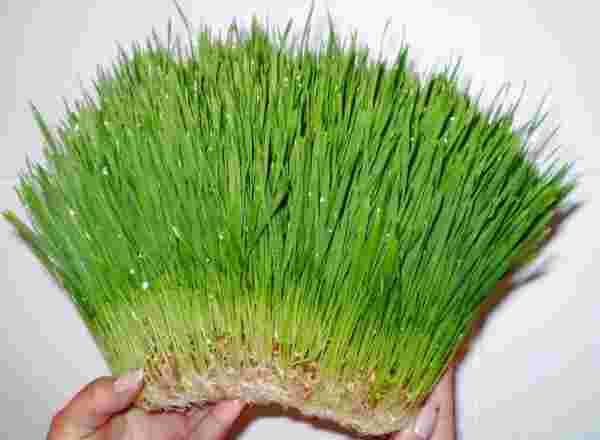 гидропоника зеленого корма для животных
