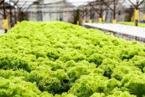 gidroponika 1 300x200 - Эффективное выращивание на гидропонике – зелени, клубники, овощей