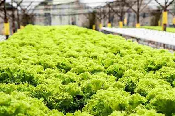 gidroponika 1 - Эффективное выращивание на гидропонике – зелени, клубники, овощей