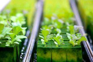 gidroponika zelen 300x200 - Оборудование гидропоники для выращивания зелени и корма
