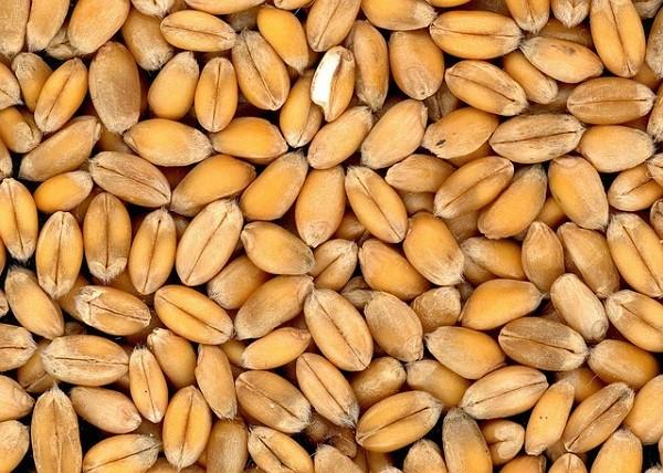 гидропоника зерна