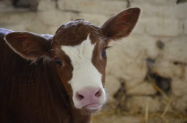 korova - Уменьшение стоимости корма для КРС: коров, быков