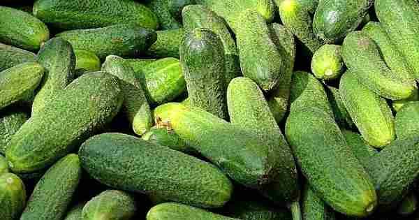ogurec - Как выращивать растения на гидропонике: салат, помидоры, огурцы, клубнику