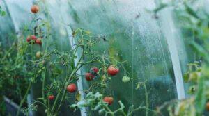 tomat 300x167 - Оборудование для промышленных теплиц: принцип работы, описание